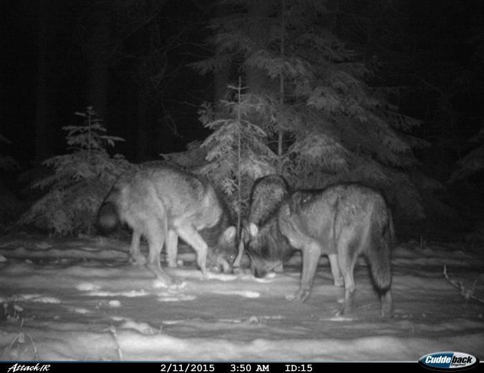 Волк на кадре фотоловушки