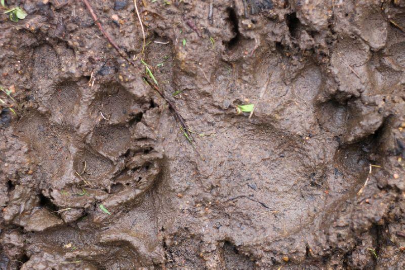 След медведя и волка
