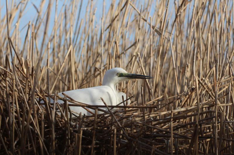 белая цапля в гнезде