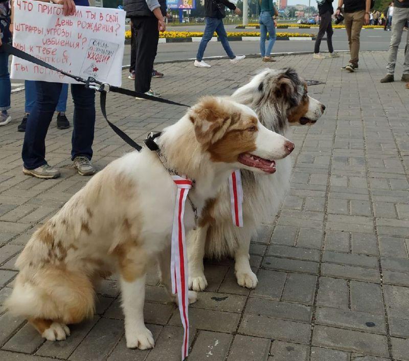Собаки с ошейниками, украшенными бело-красно-белыми ленточками