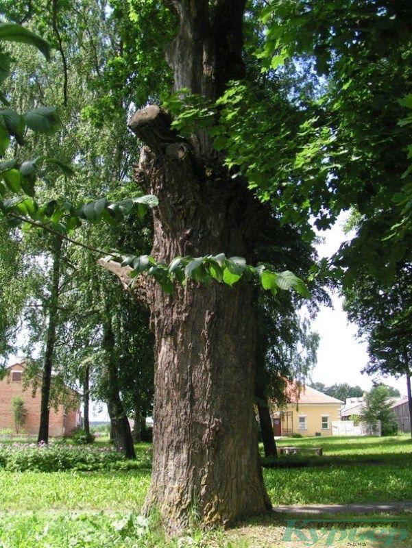 Старые деревья в Ореховно