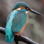 Для чего спина у зимородка ярче других перышек?  Фотоохота на осеннего красавца